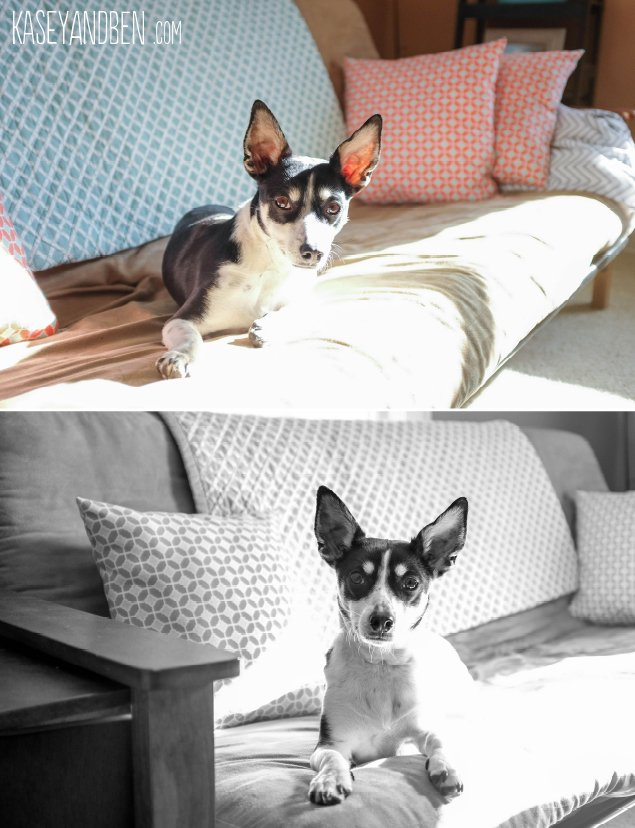 Pieper_Jane_Rat_Terrier_Dog_Photography_Lifestyle_Green_Bay